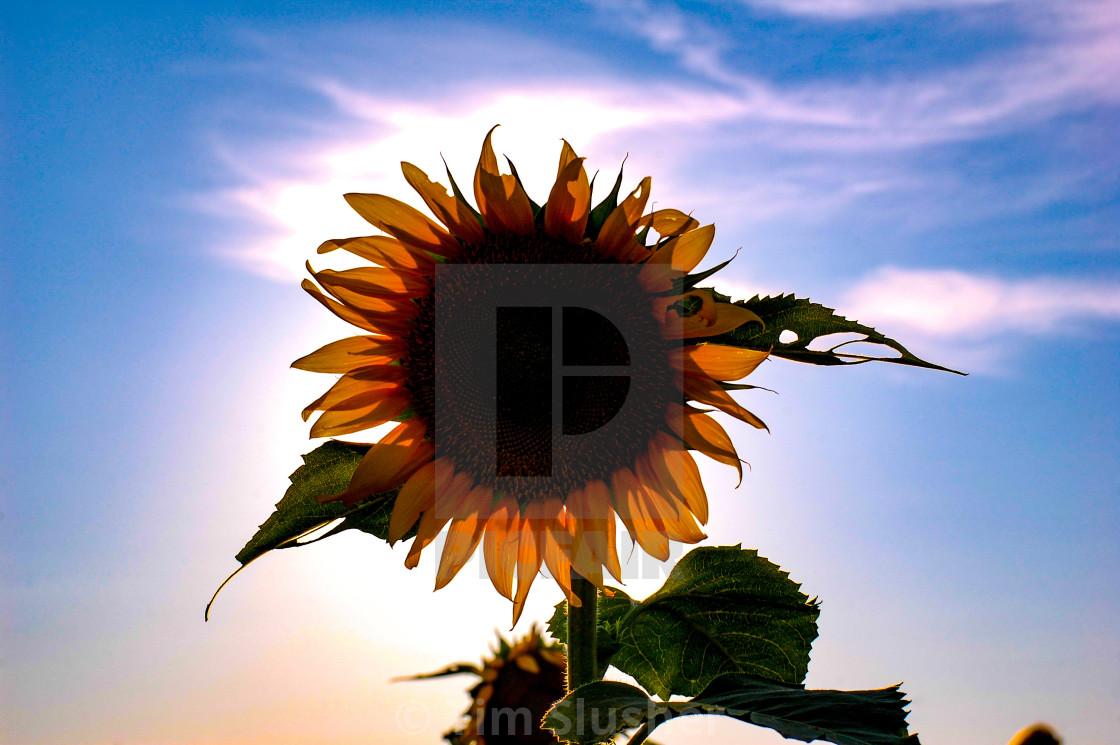 """The Sun Flower"" stock image"