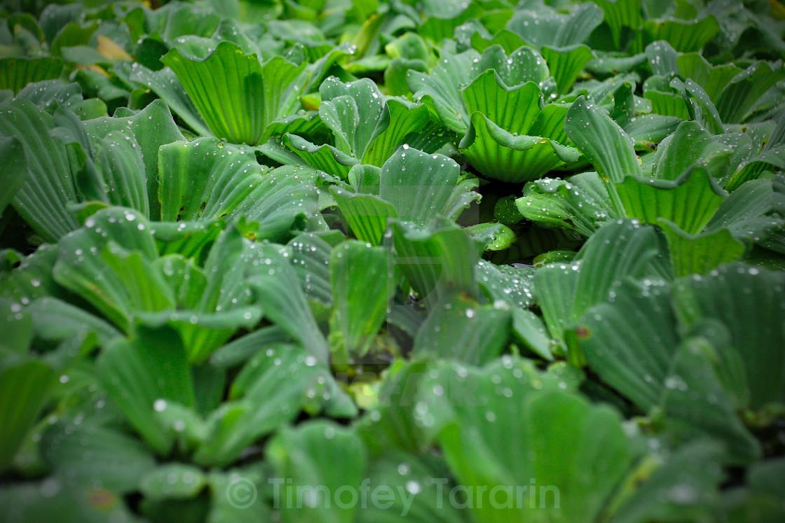 """Water Lettuce"" stock image"