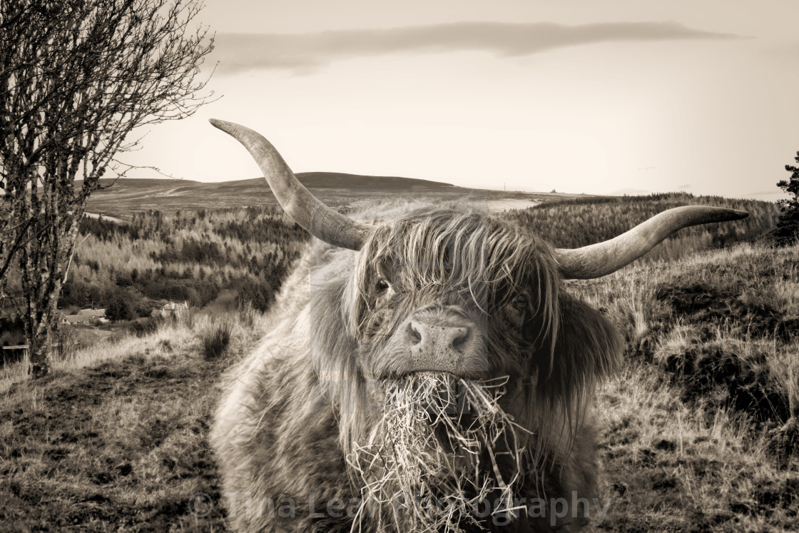 """Hungry Highland Cow"" stock image"