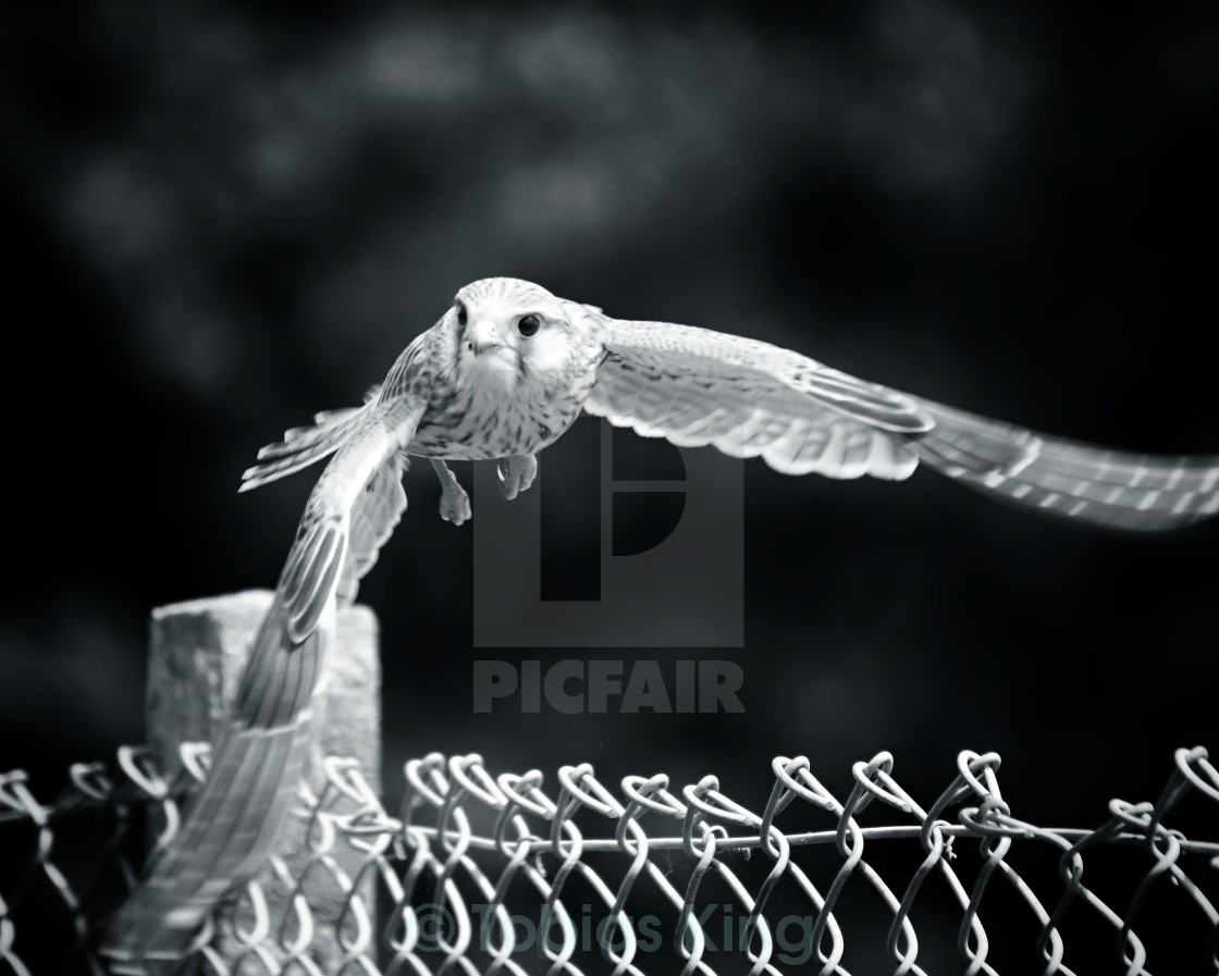 """Kestrel in flight"" stock image"