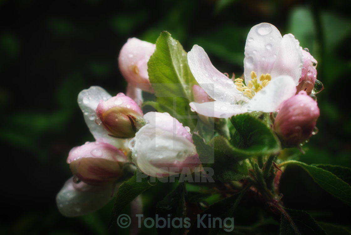 """Apple Blossom Fresh"" stock image"