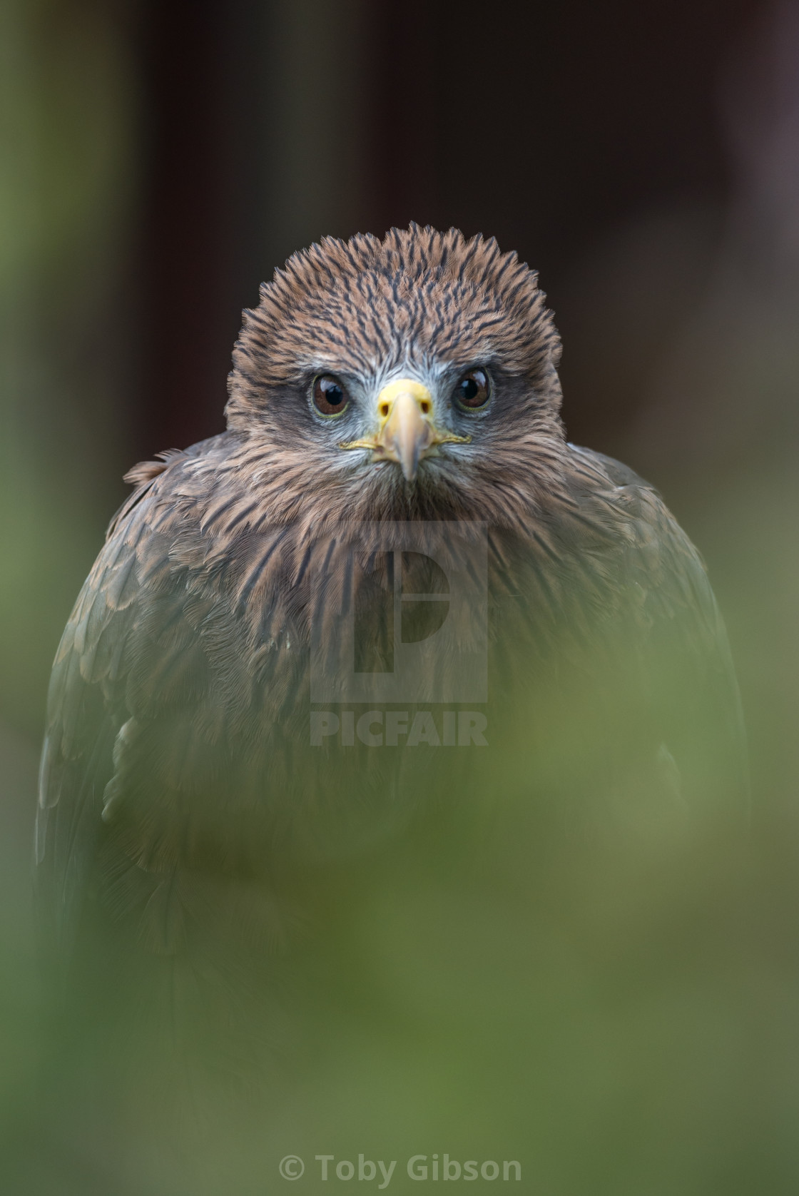 """Yellow billed kite staring directly into the camera"" stock image"