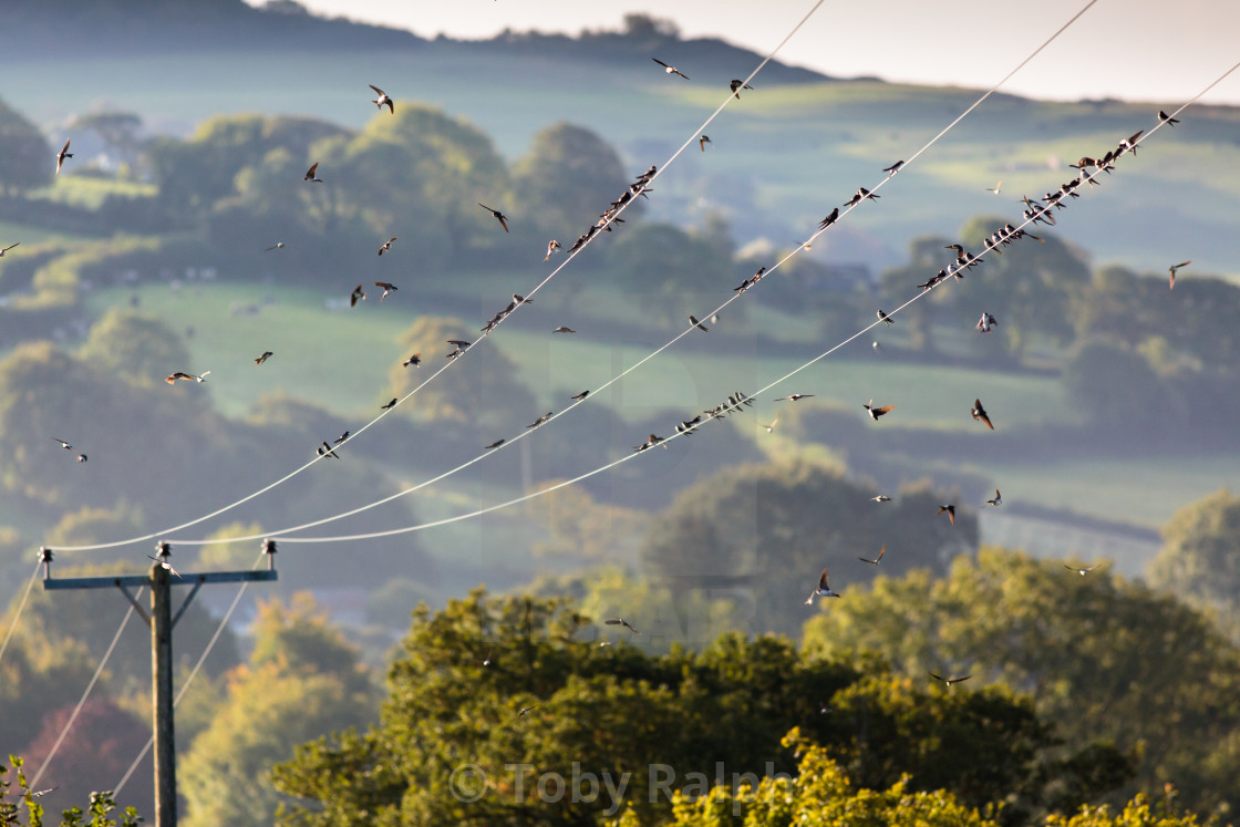"""House Martins flitting among power lines"" stock image"