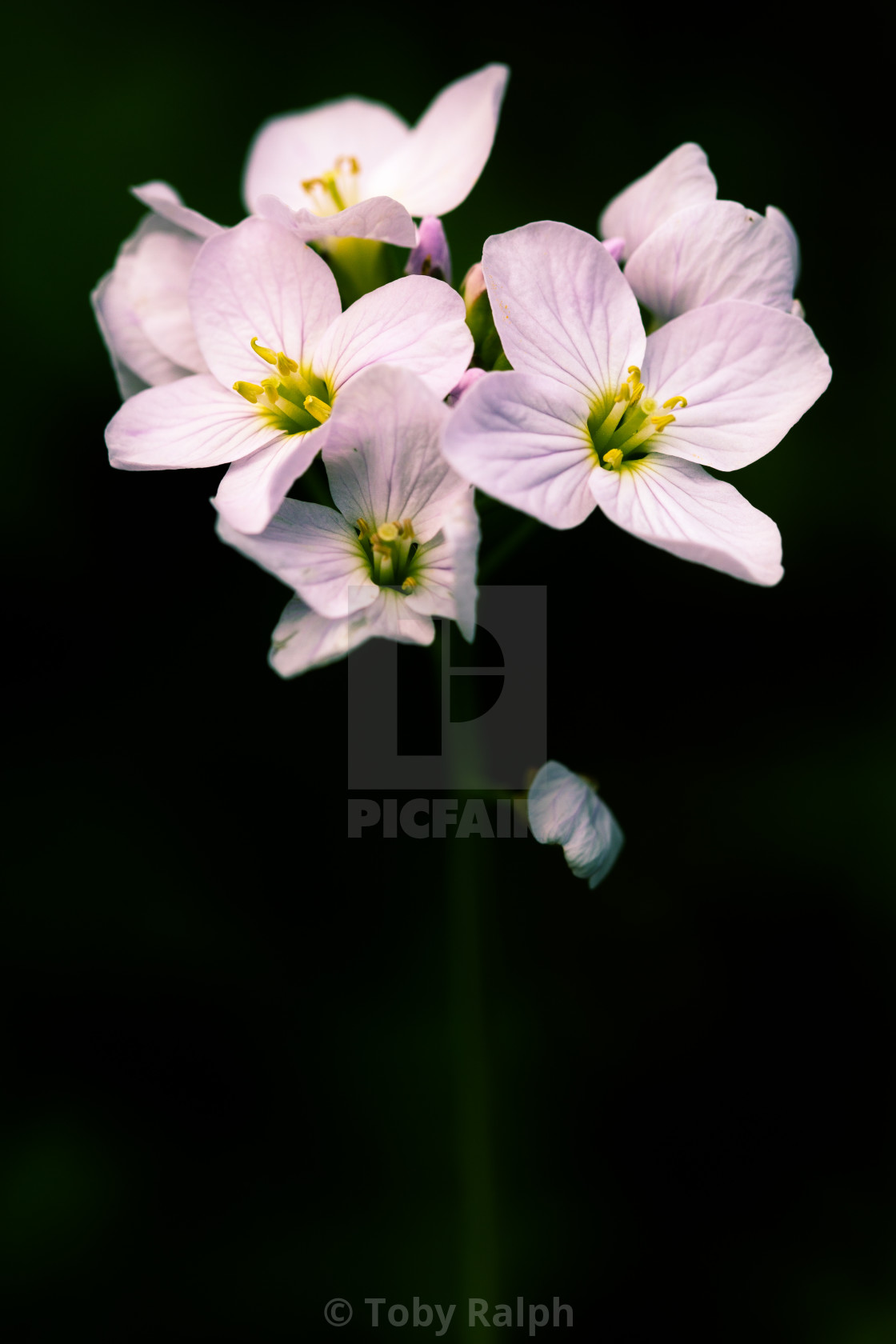 """Ladies Smock or Cuckoo Flower"" stock image"