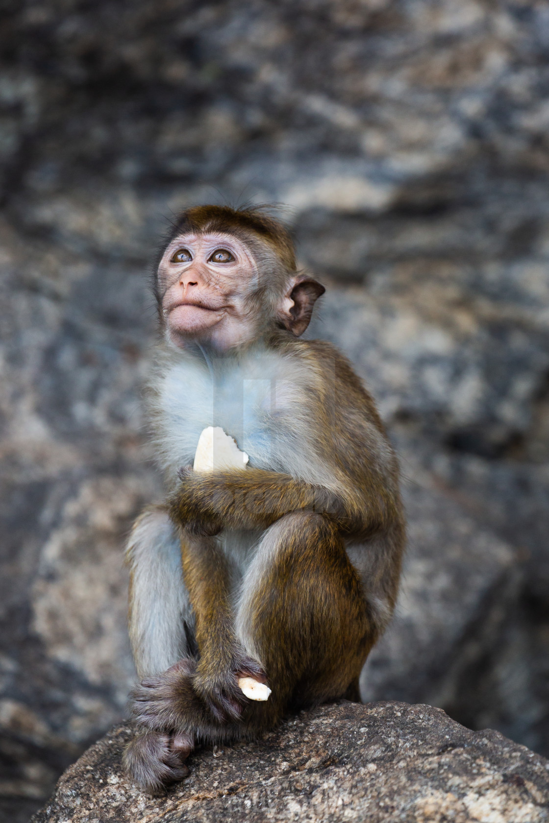 """Temple Monkey"" stock image"