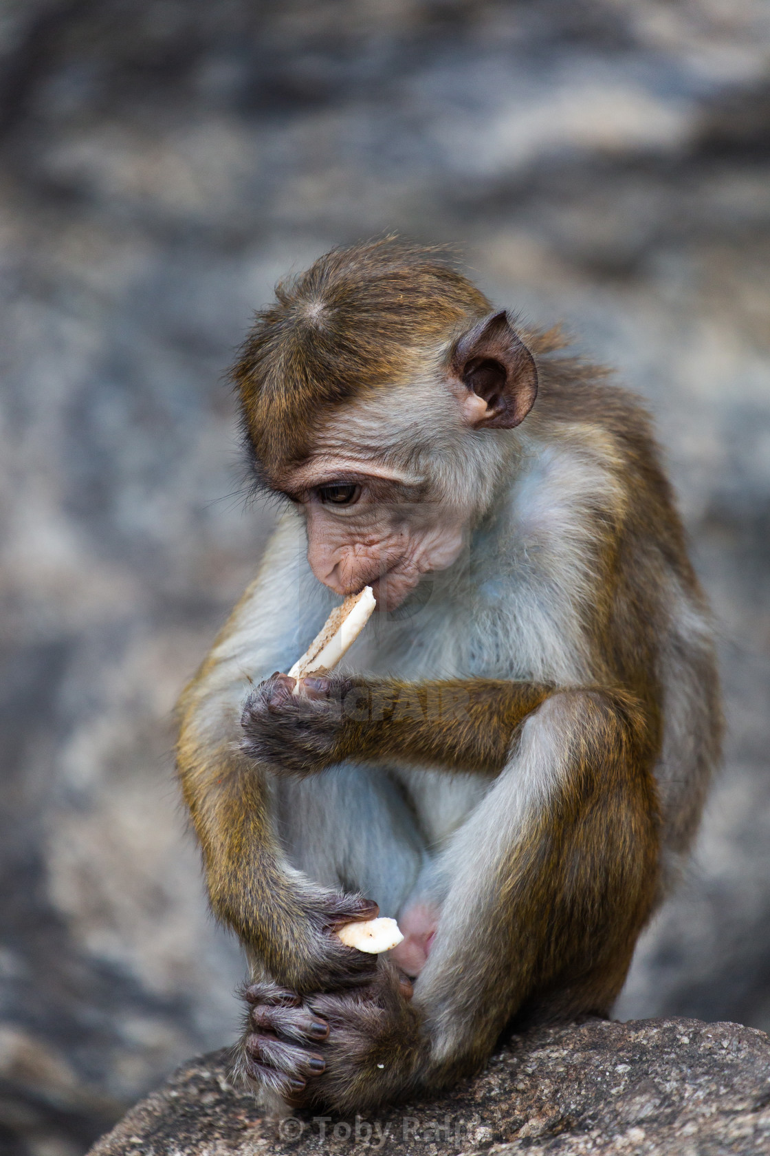 """Temple Monkey (2)"" stock image"