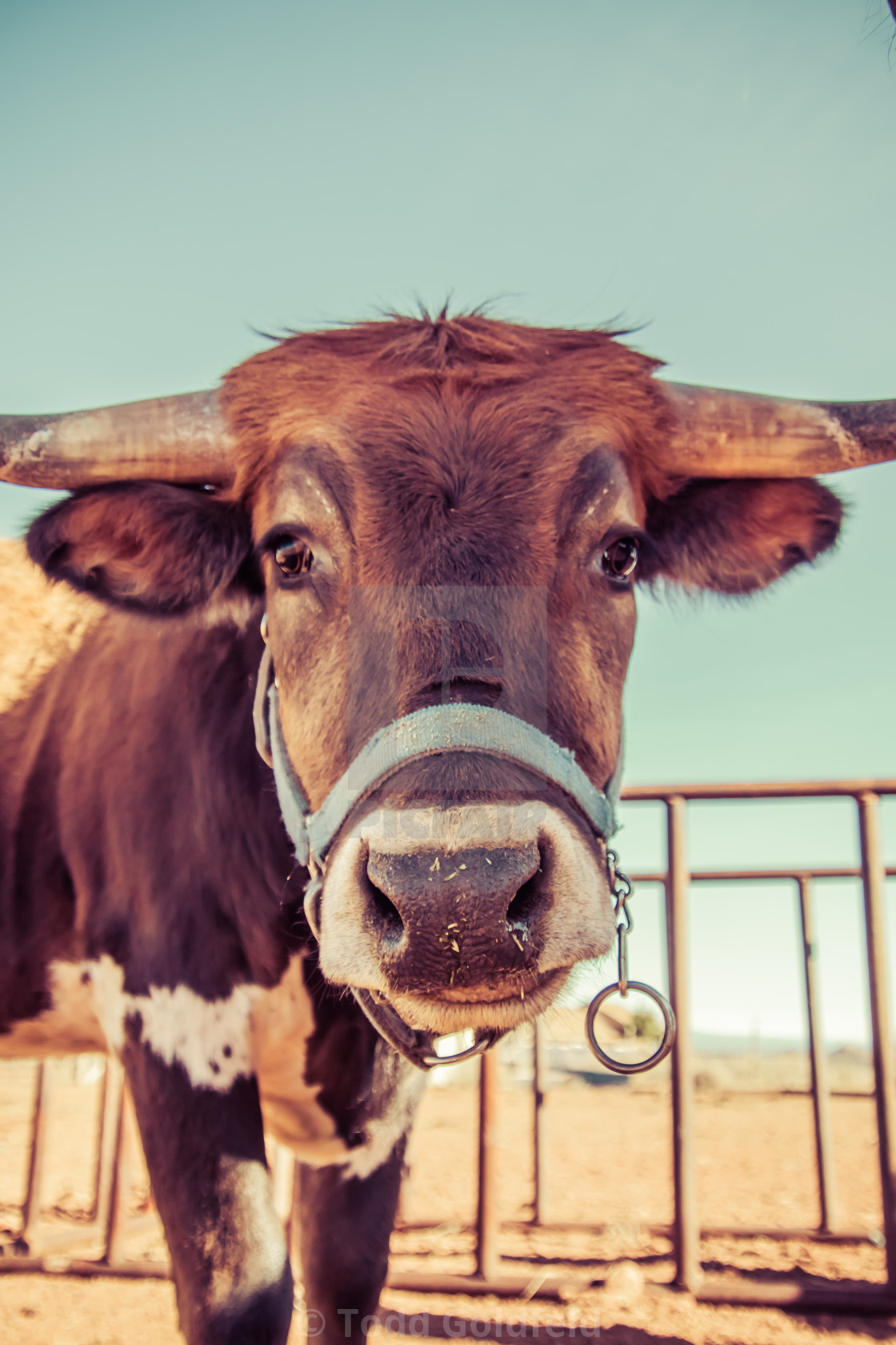 """""""How Now Friendly Cow"""" stock image"""