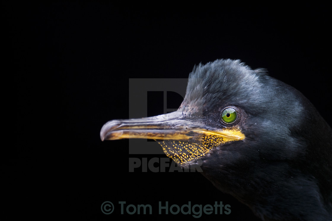"""Shag Portrait"" stock image"
