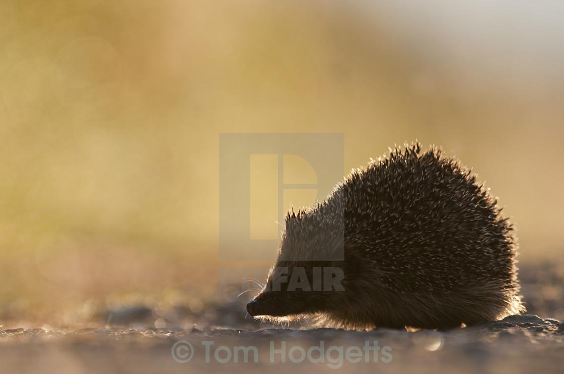 """Hedgehog"" stock image"