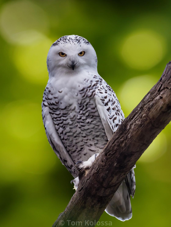 """Snowly Owl"" stock image"