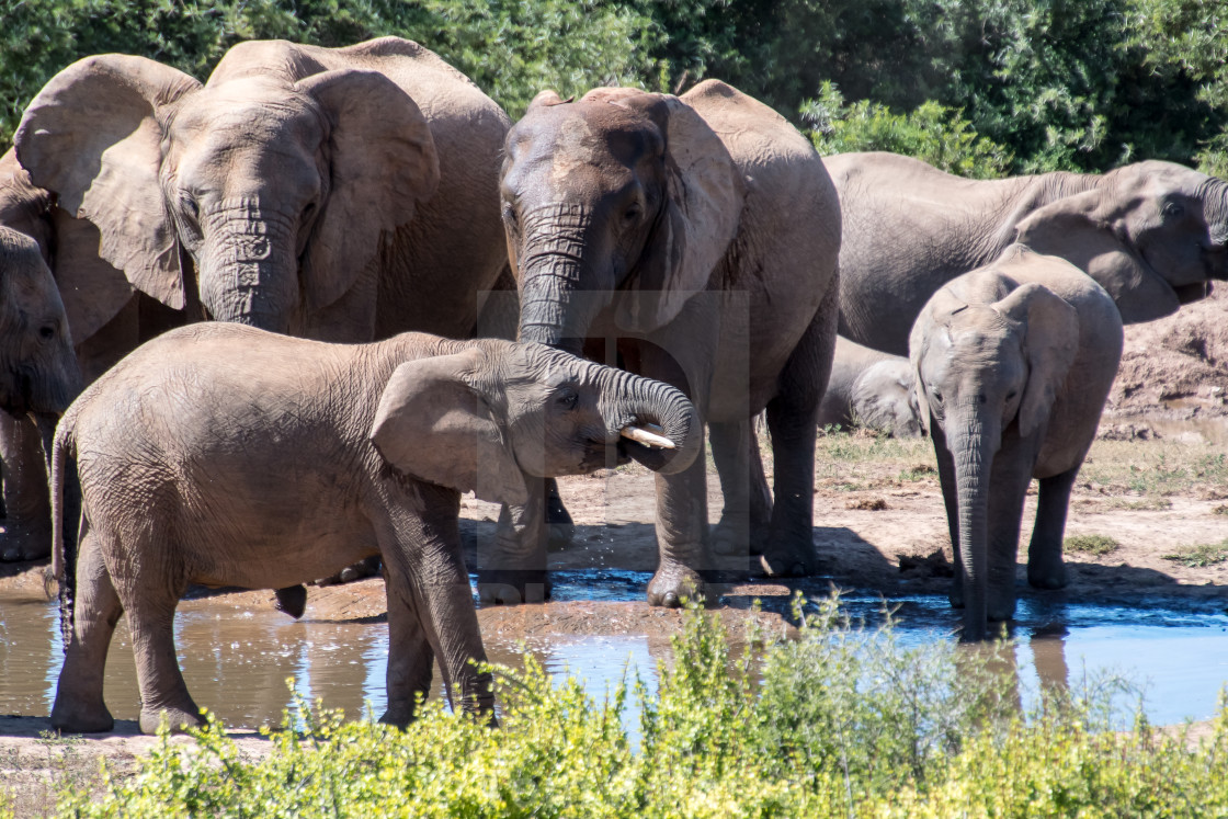"""elephants drinking"" stock image"