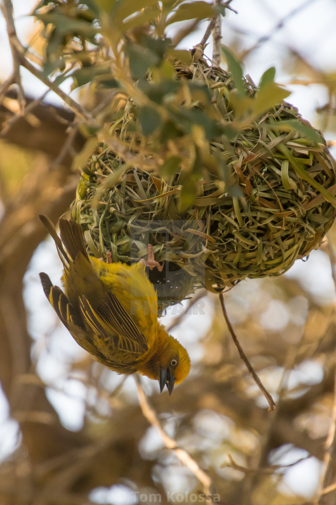 """Cape weaver south africa"" stock image"