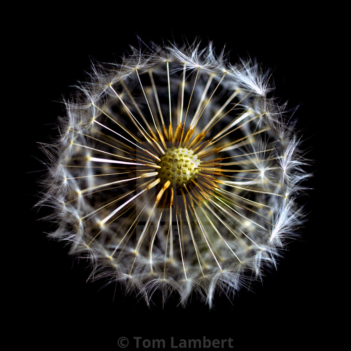 """Dandelion Clock on Black"" stock image"