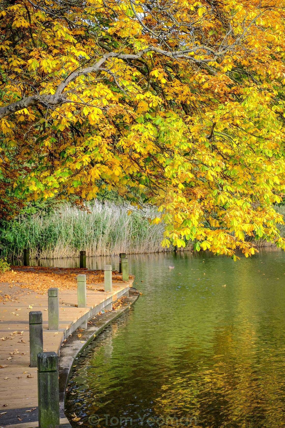 """""""Autumn tree overhanging lake (upright)"""" stock image"""