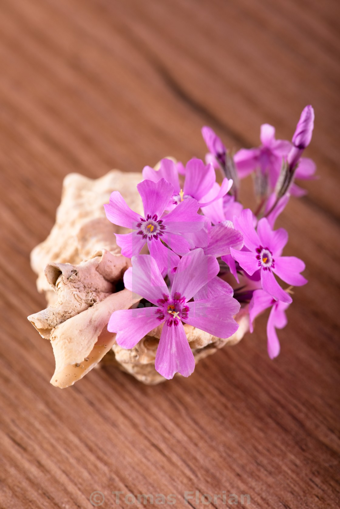 """""""Several pink carnations placed in seashell"""" stock image"""