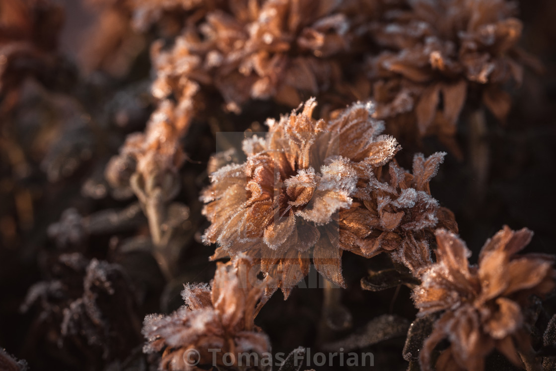 """Dry chrysanthemum blooms covered by the frost"" stock image"