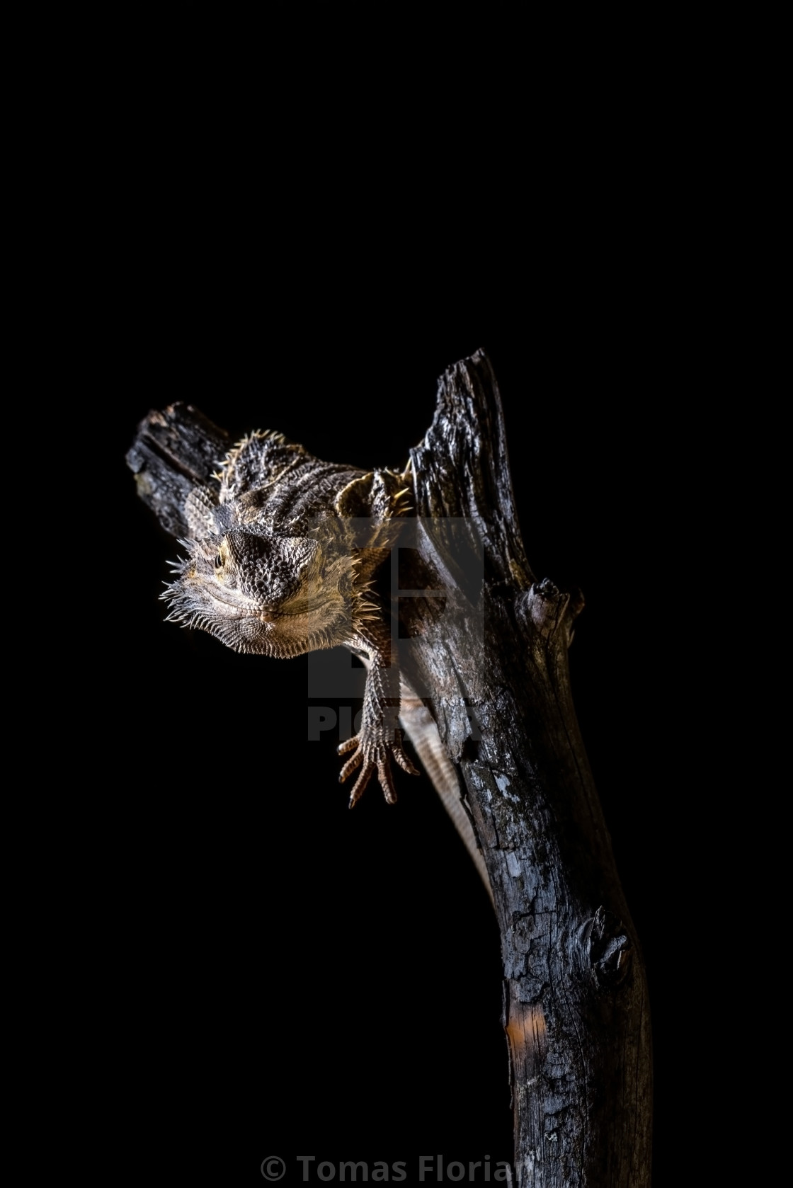 """Bearded dragon on piece of dry wood on black background"" stock image"