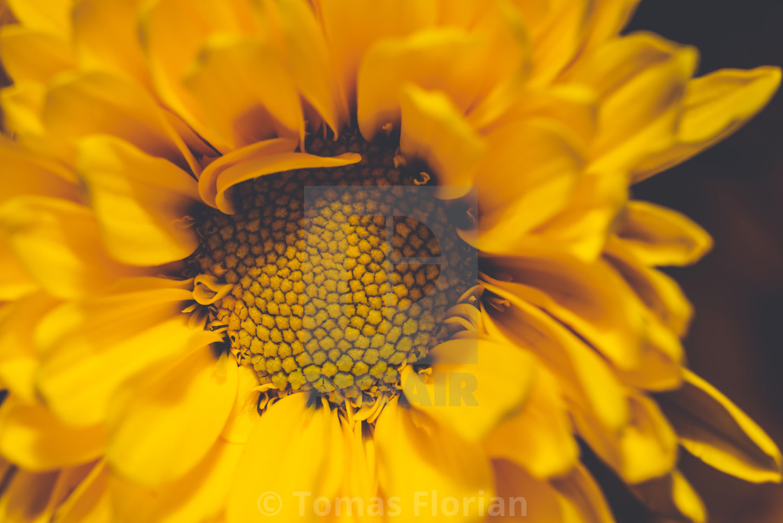 """Close-up photo of nice flower bloom with yellow center and yellow leaves"" stock image"