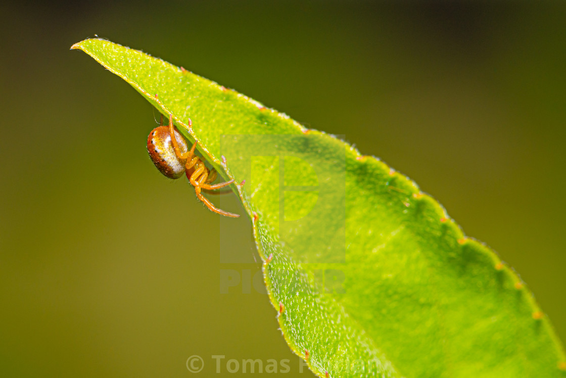 """Cute small spider with colorful body on a green leaf"" stock image"