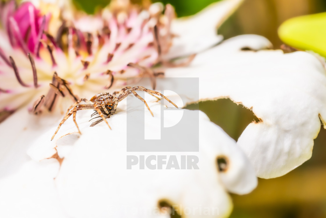 """Nice light brown spider perched on white bloom hunted a fly"" stock image"