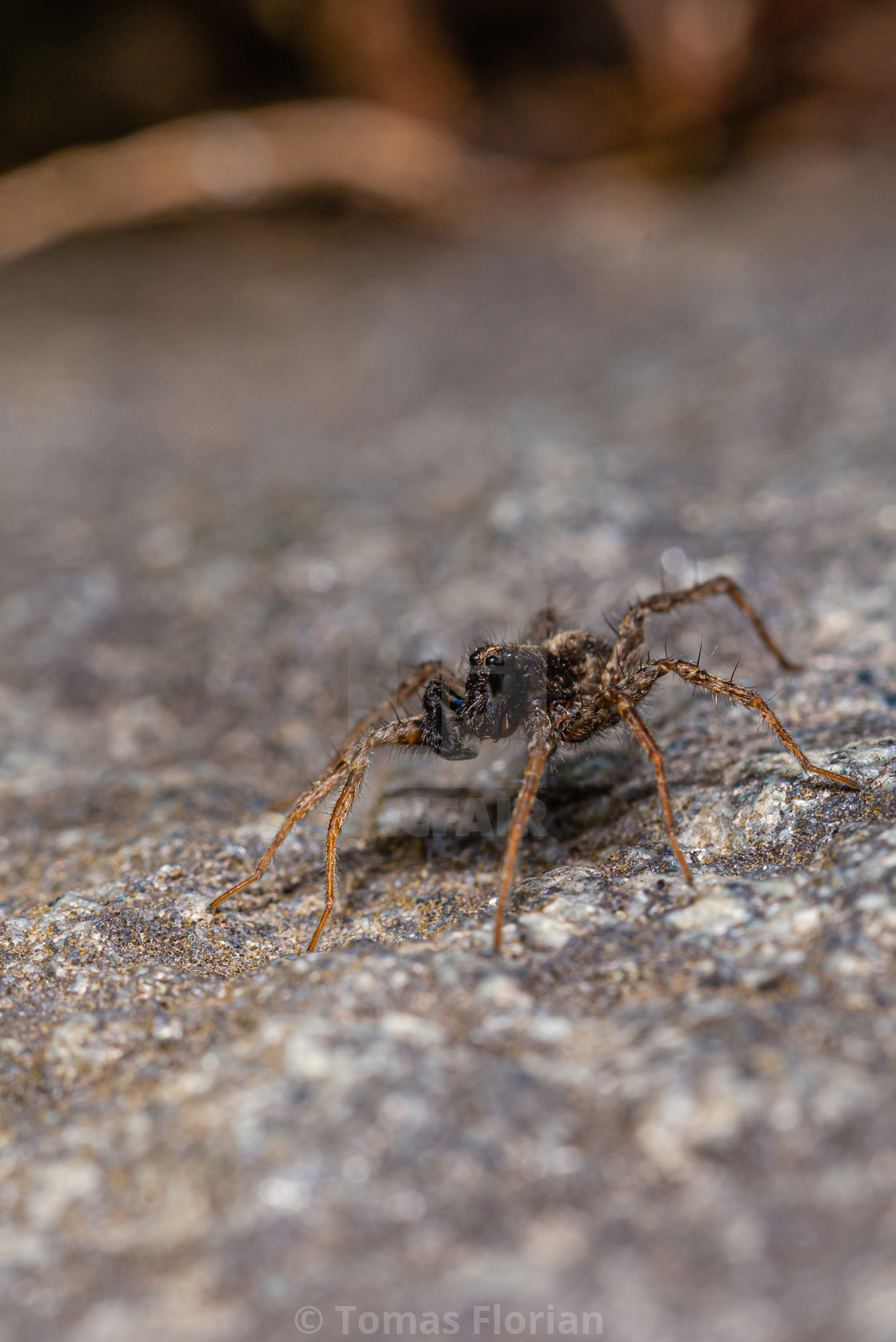 """Dark brown spider perched on the stone"" stock image"