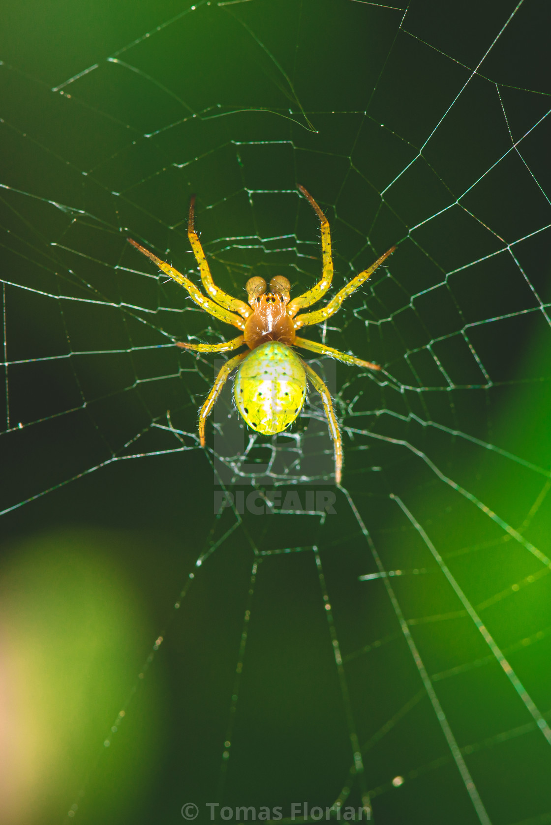"""Nice green spider with dots on body sitting on his web"" stock image"