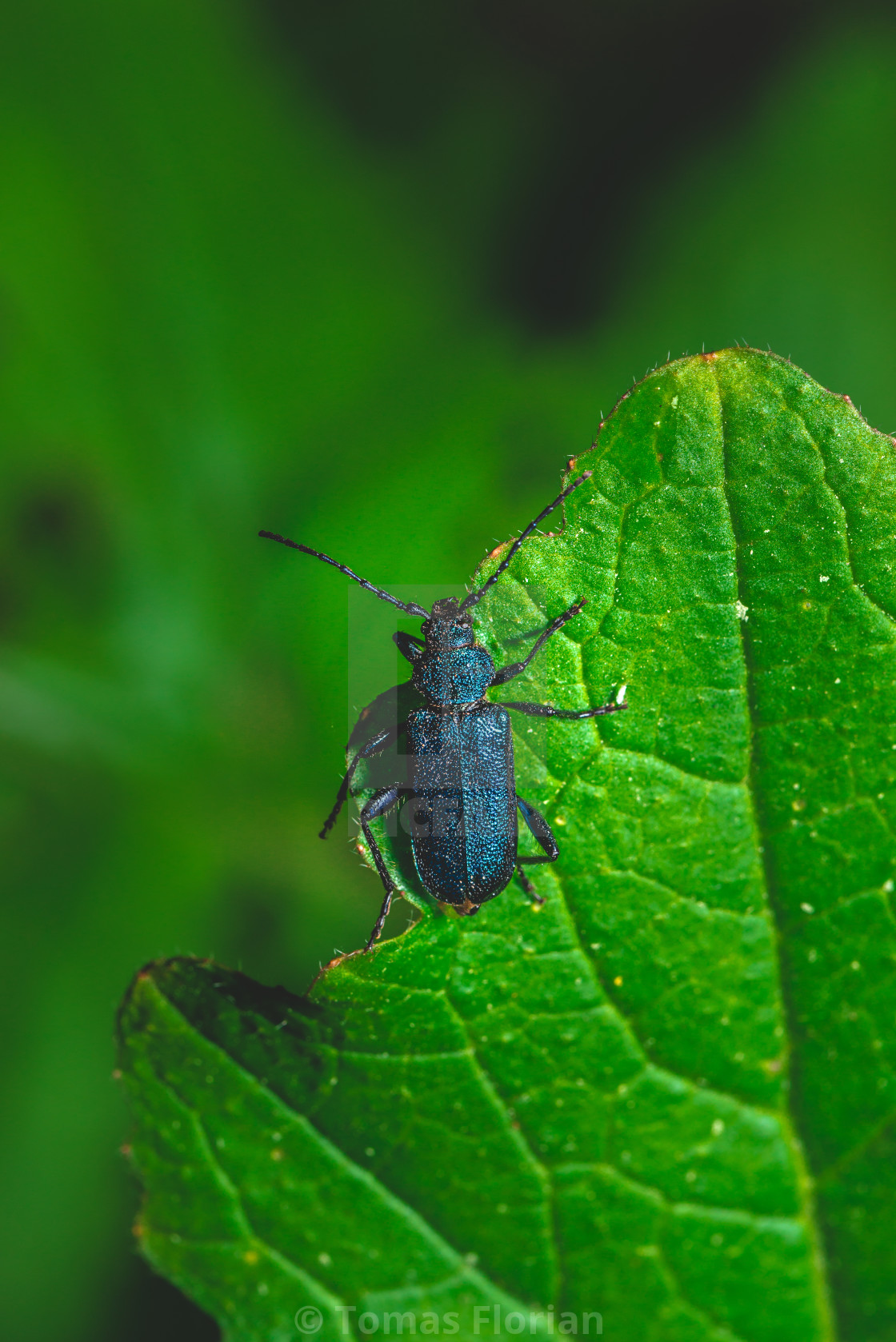 """Nice big bug with blue color perched on green leaf"" stock image"