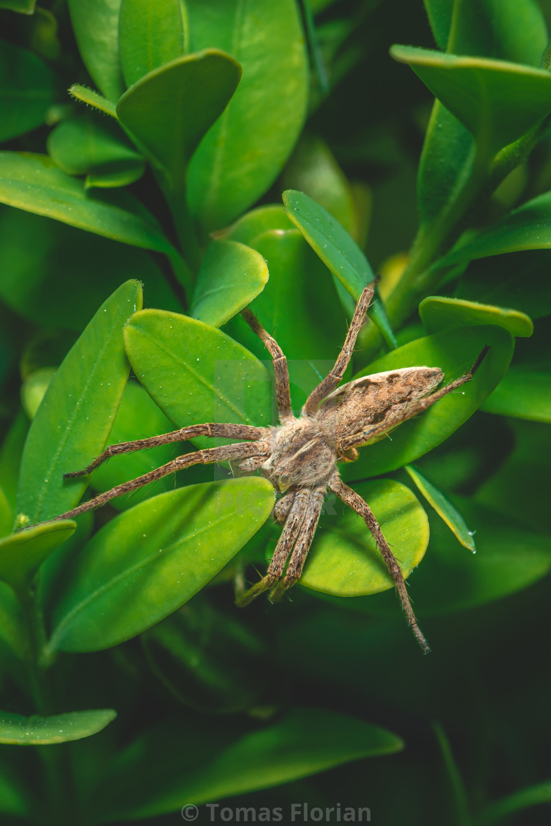 """Brown spider is perched on the plant with many small green leaves"" stock image"