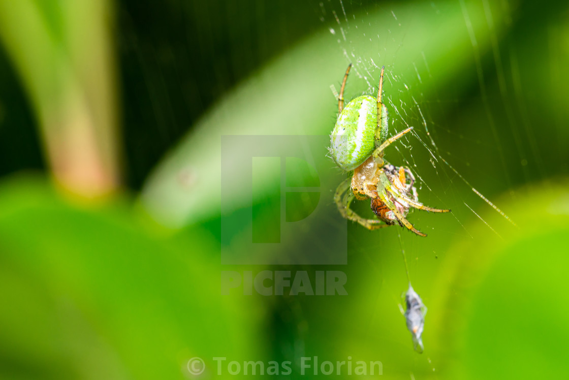 """""""Nice green spider with dots on body sitting on his web"""" stock image"""