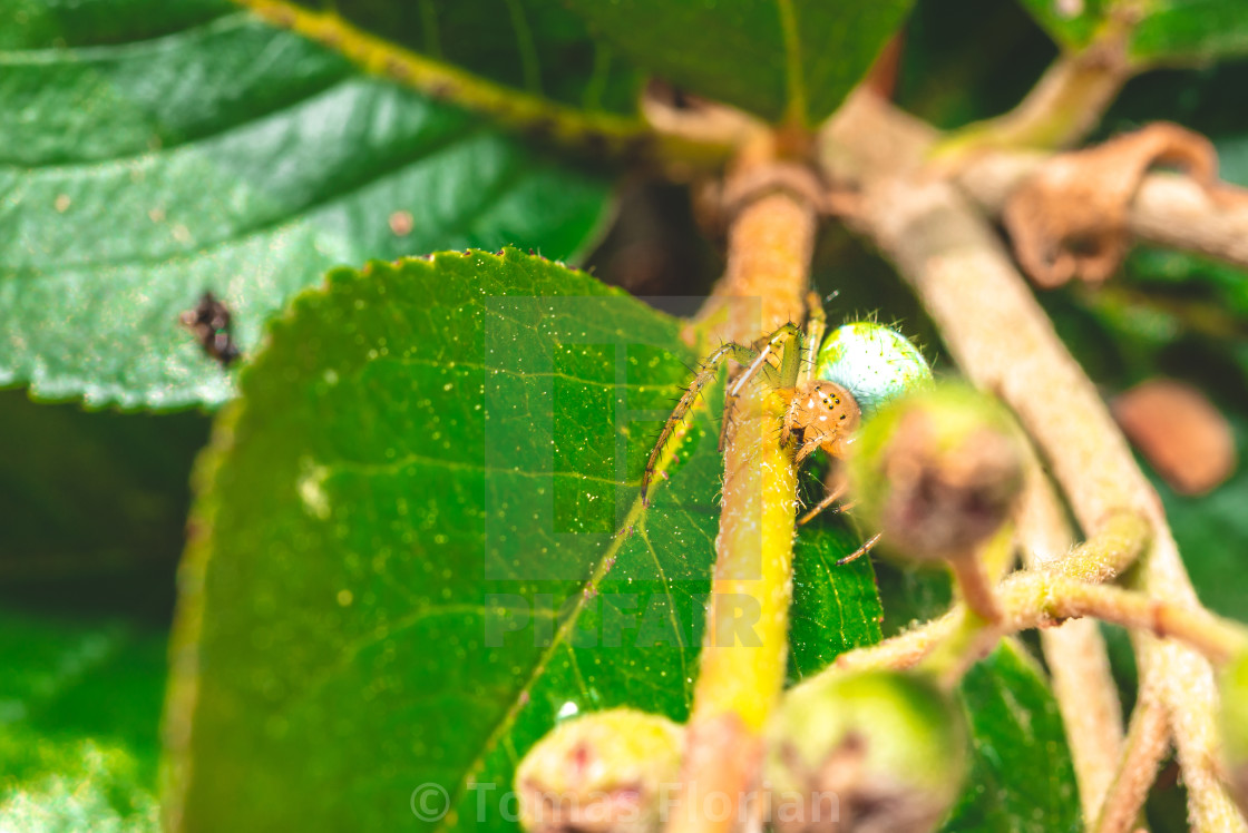 """Nice green spider with dots on body sitting on green leaf"" stock image"