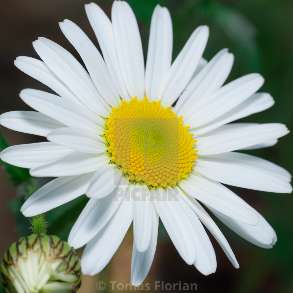 """""""Detail of daisy bloom with pure white leaves and golden center"""" stock image"""