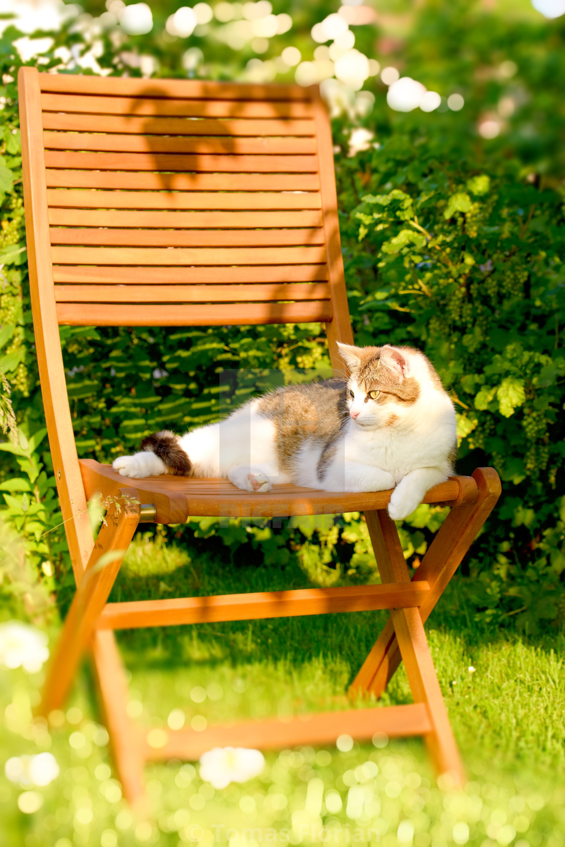 """Adult cat rests on wooden chair in garden"" stock image"