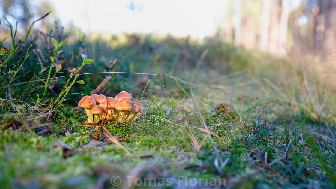 """Bunch of small autumn mushrooms in a green moss"" stock image"