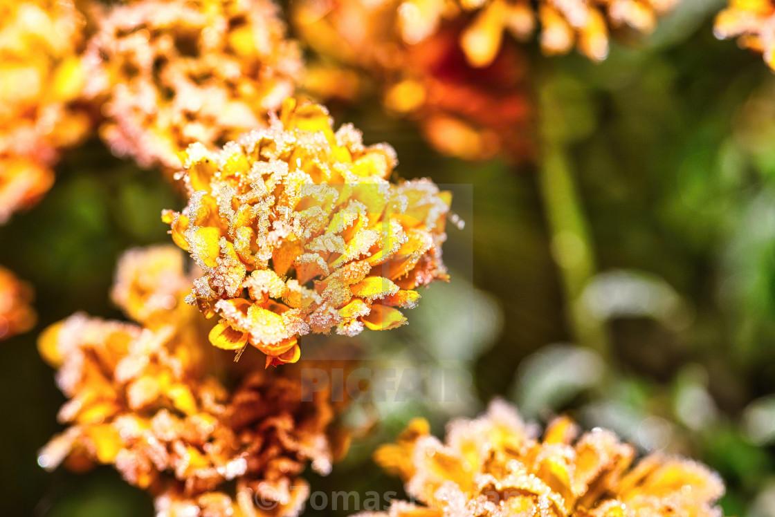 """""""Detail of vibrant flower bloom full of frost"""" stock image"""