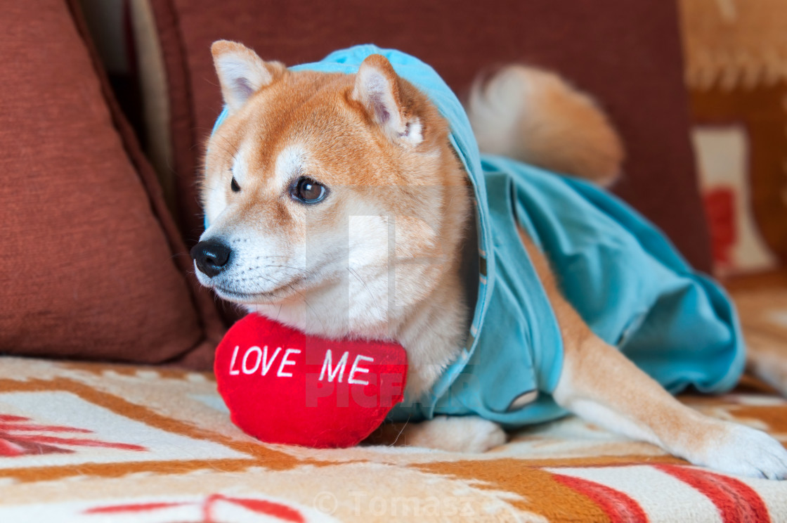 cute Shiba inu dog laying on bed with red heart - License, download or print for £6.20 | Photos | Picfair