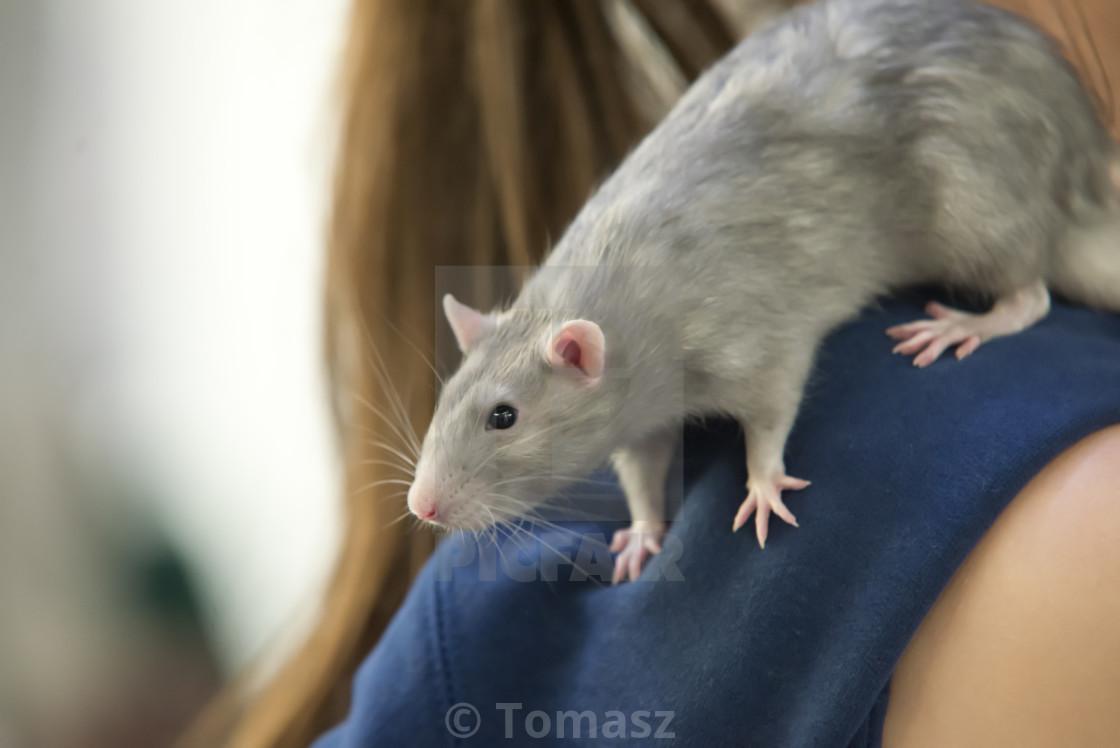 """grey rat on human shoulder"" stock image"
