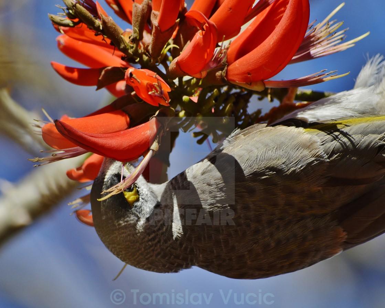 """""""Noisy Miner Eating Flower Nectar 2"""" stock image"""