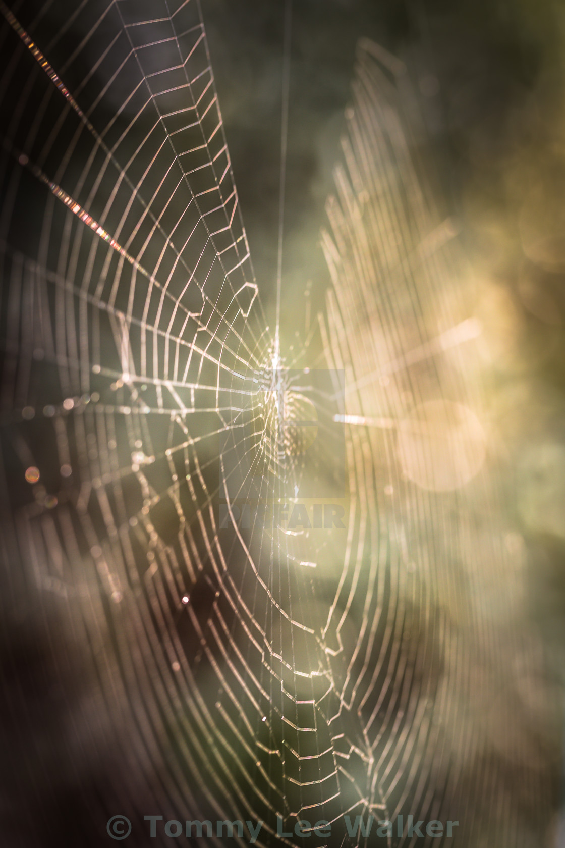 """Spider web in morning lights"" stock image"