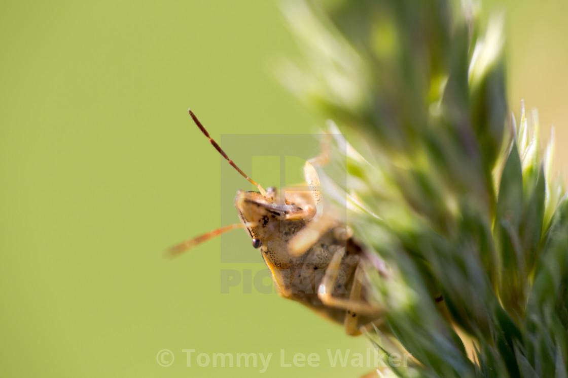 """Parent bug (Elasmucha grisea), shield bug, stink bug, family of"" stock image"