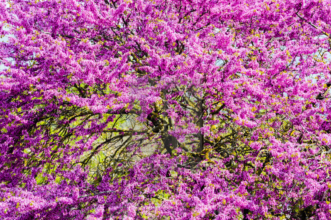 Tree Crown With Vibrant Ultra Violet Flowers Background License