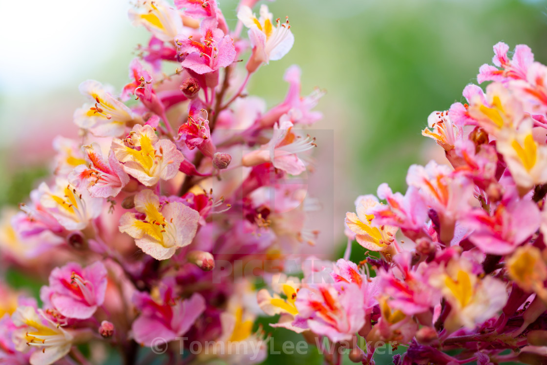 Pink Chestnut Tree Aesculus Carnea Or Red Horse Chestnut Bl