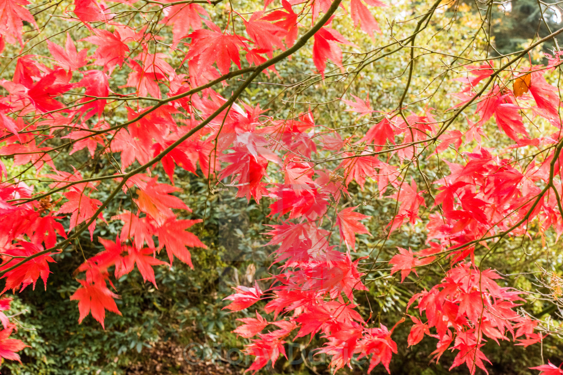 """Autumn Red Acer Leaves"" stock image"