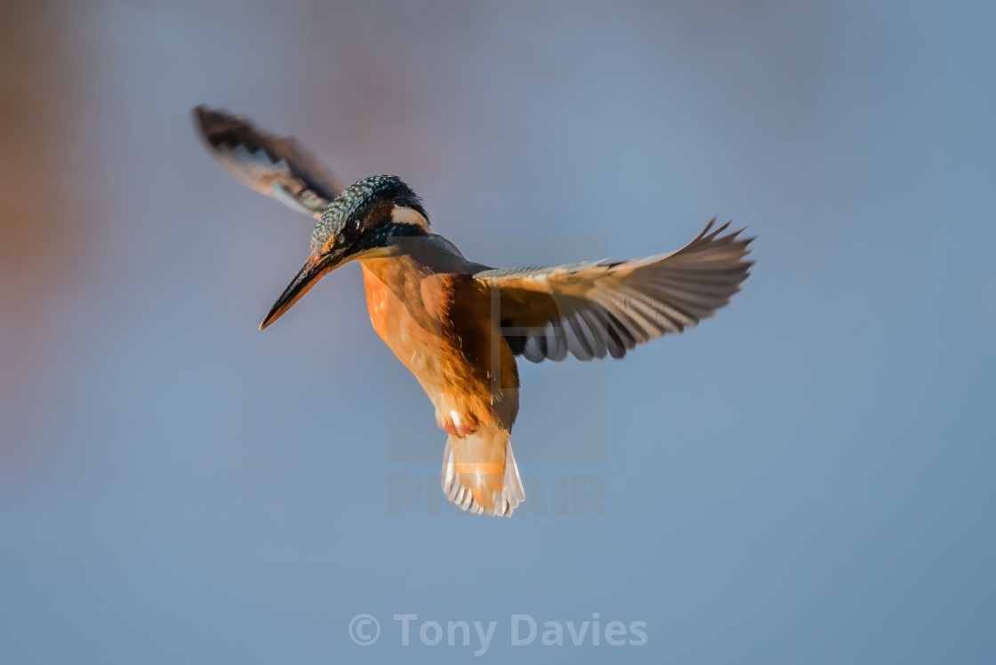 """Kingfisher hovering"" stock image"