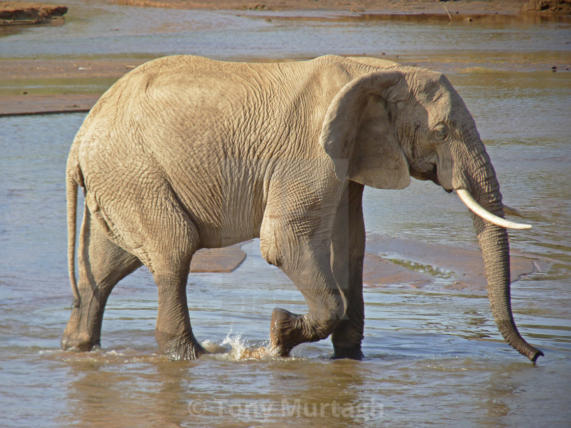 """African elephant"" stock image"