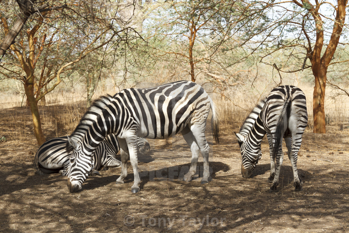 Zebras grazing in Senegal