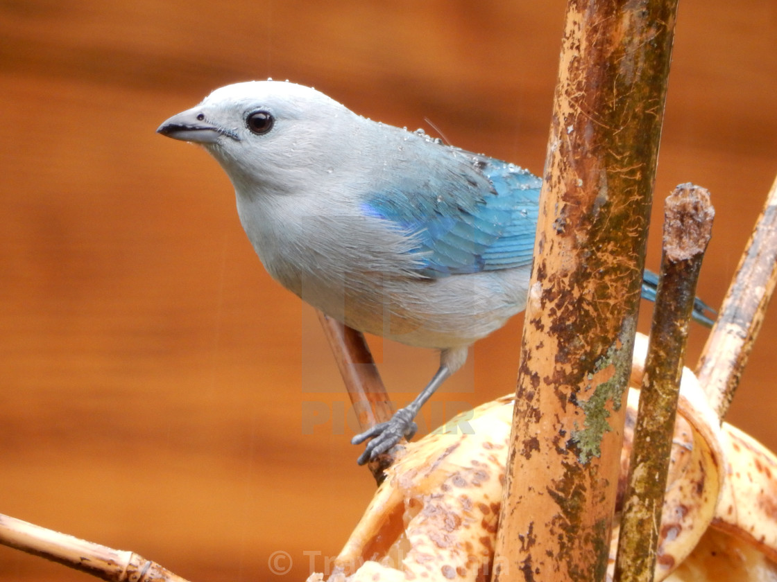 """Blue tanager bird"" stock image"