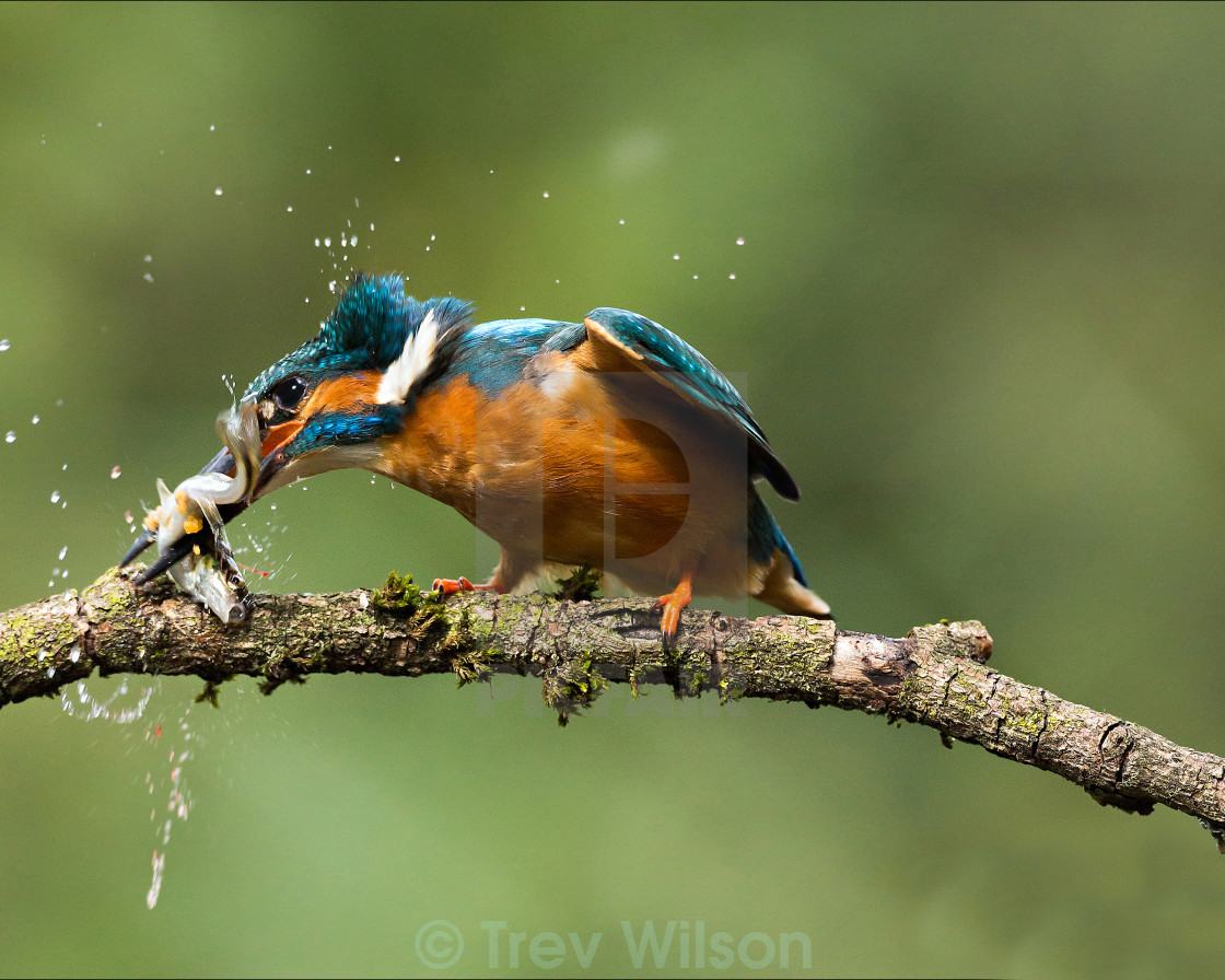 """Kingfisher killing his lunch."" stock image"