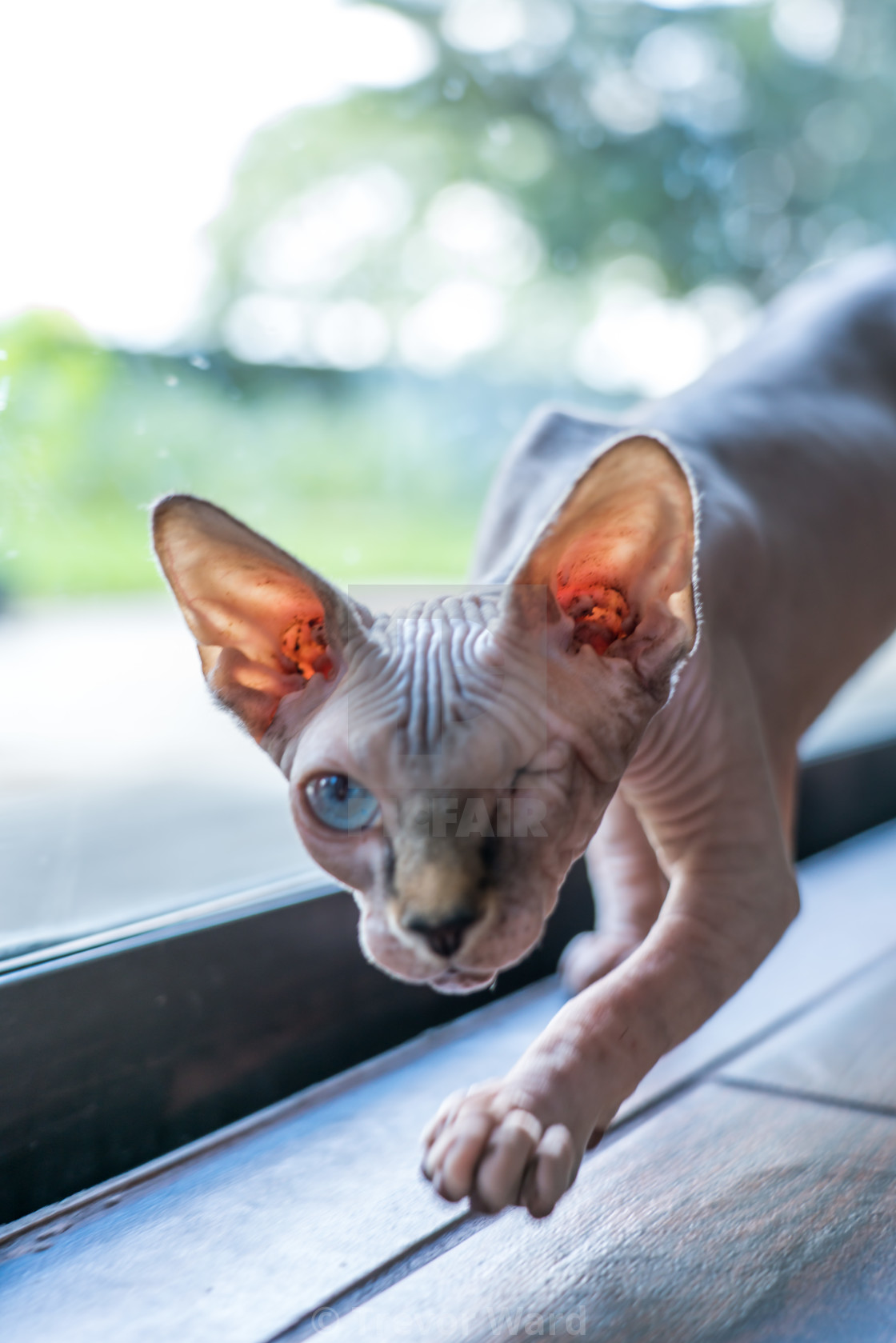 Hairless Cat License Download Or Print For 3 72 Photos Picfair