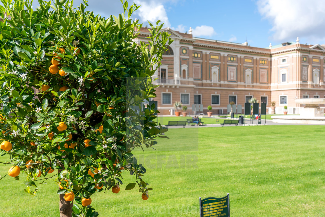 Tangerines at Courtyard of the Pigna at Vatican city