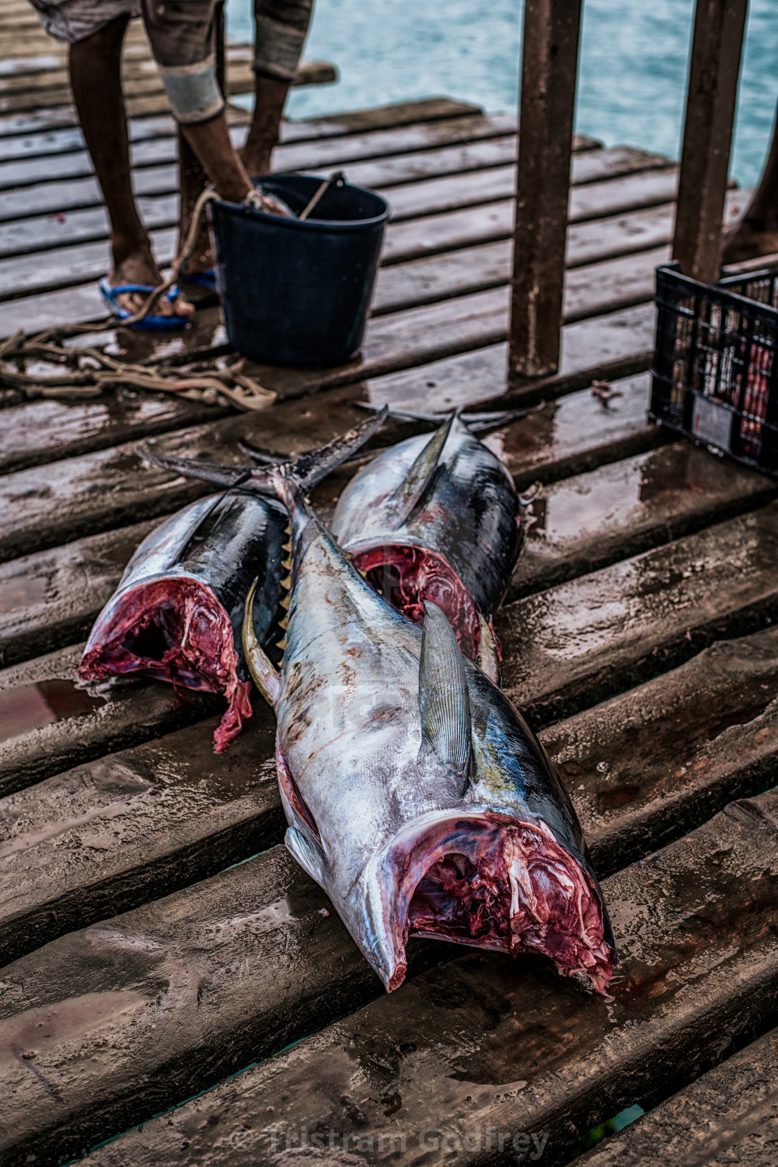 """Yellowfin Tuna"" stock image"